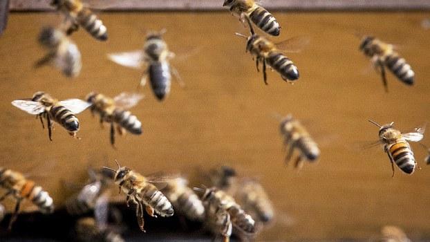 """中國出現可怕的""""殭屍蜜蜂""""現象 成群奔向死亡(圖)"""