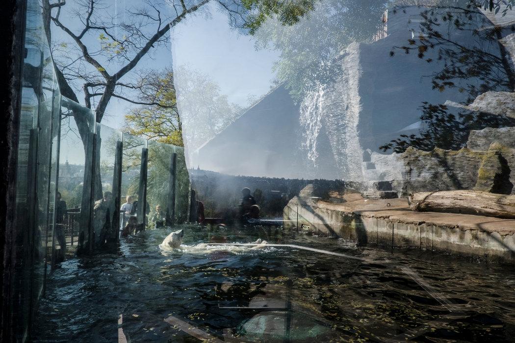 布拉格動物園中北極熊的棲息地原本計劃被一個新的展館取代,展示中國熊貓。