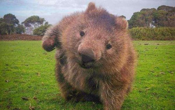 膽小熊英雄!澳洲大火這小傢伙「做了這件事」拯救無數動物!網心疼:又萌又善良!