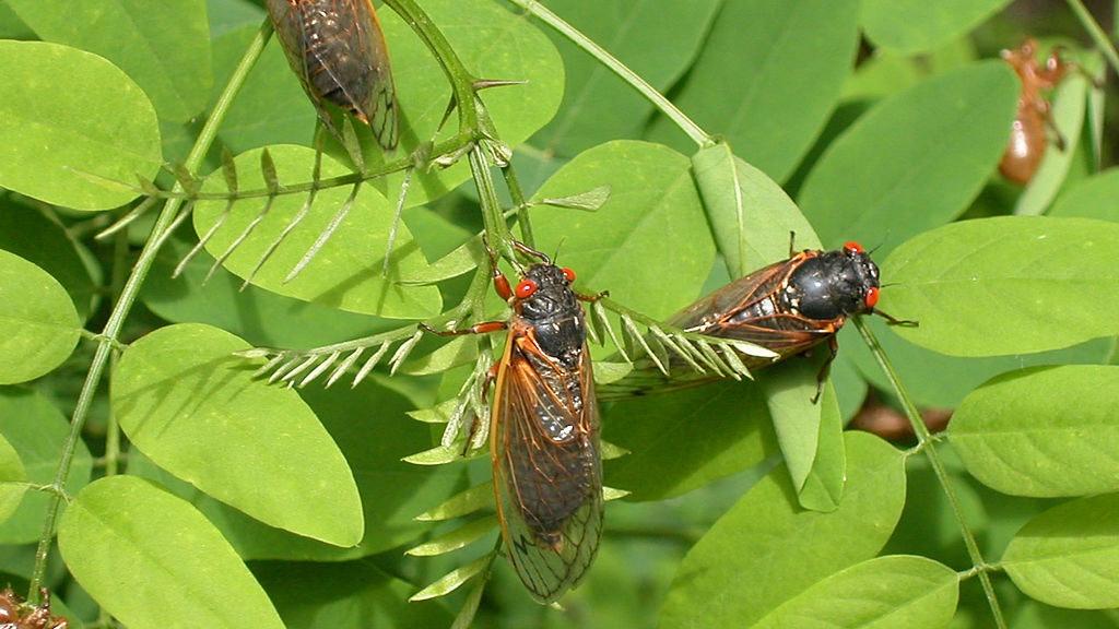 """大黄蜂之后 """"最长寿昆虫""""袭美国 震耳欲聋的夏天到了?"""