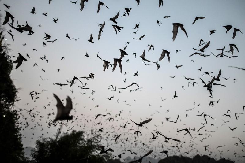 """大量蝙蝠暴毙引发恐慌 竟是因太热""""脑袋被煮熟""""…"""
