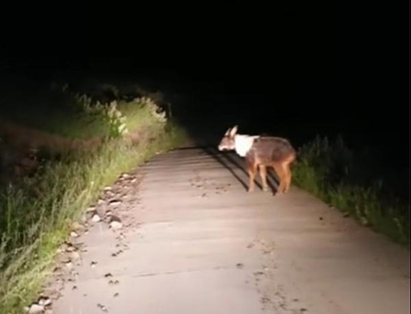 头像羊、尾像驴、角像鹿、蹄像牛