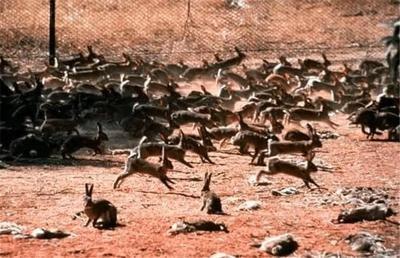 """""""人兔战争""""澳大利亚完败,超100亿只野兔真吃不完啊!"""
