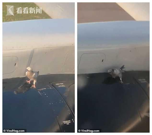 搭顺风机?客机起飞加速 鸽子坚持站在发动机上