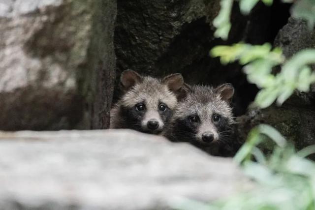 上海一小区野生貉泛滥:是什么让胆小的它们攻击人类?