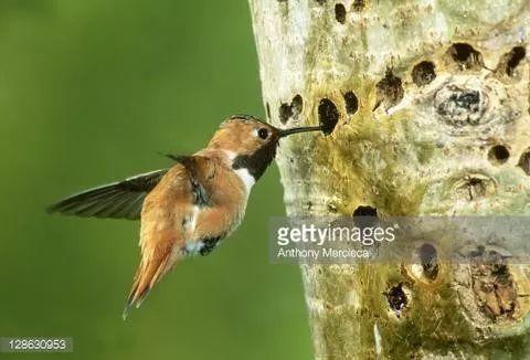 """把树啄得千疮百孔却不捉虫,这些啄木鸟是""""庸医""""还是""""流氓""""?"""