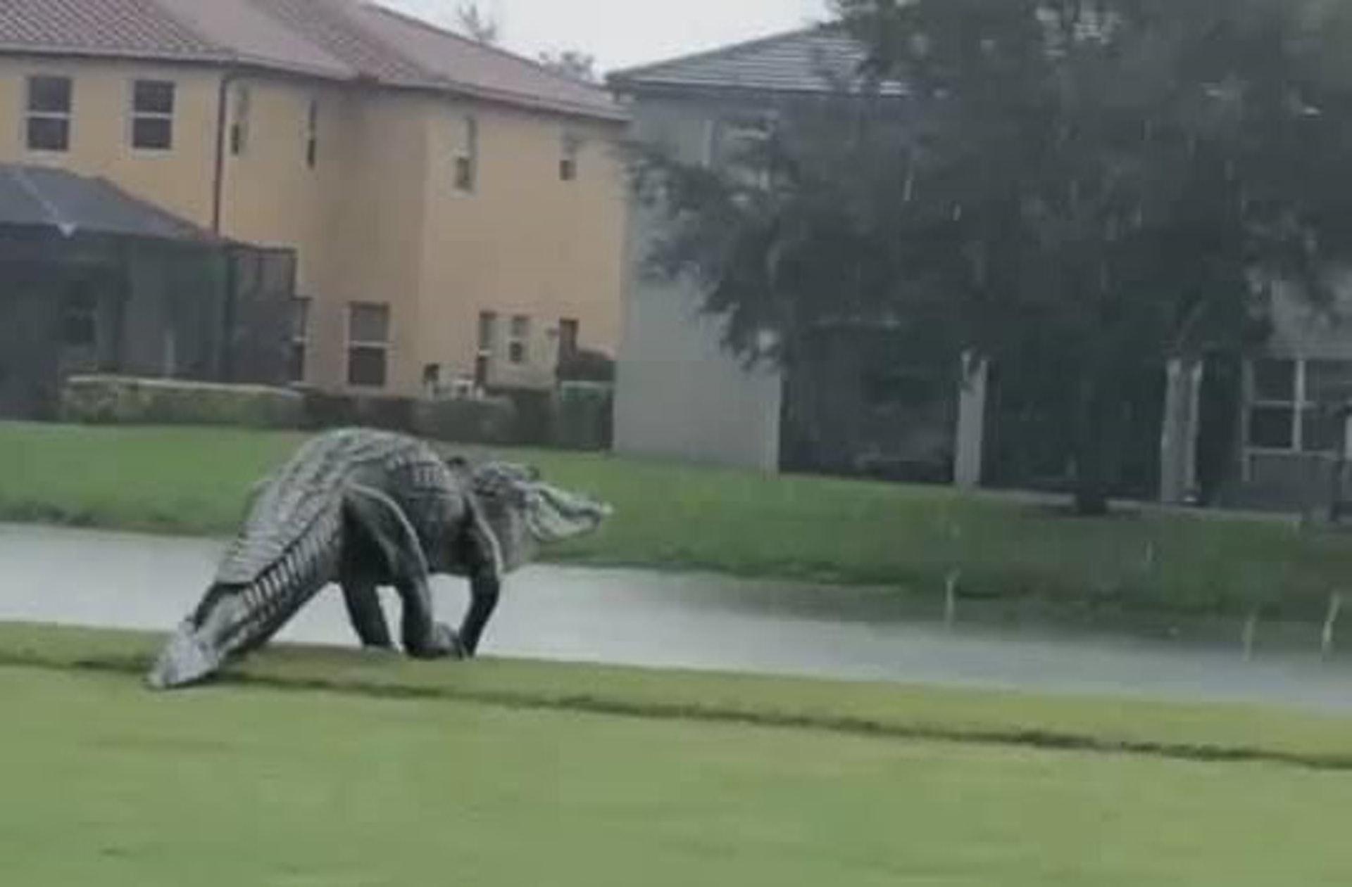 哥斯拉?!一隻巨大生物悠闲地在球场上散步 目测至少3米