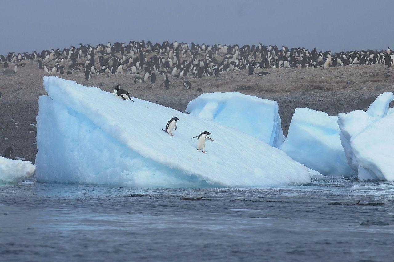 企鵝太可愛! 到南極一看才知道他們過得有多命苦?