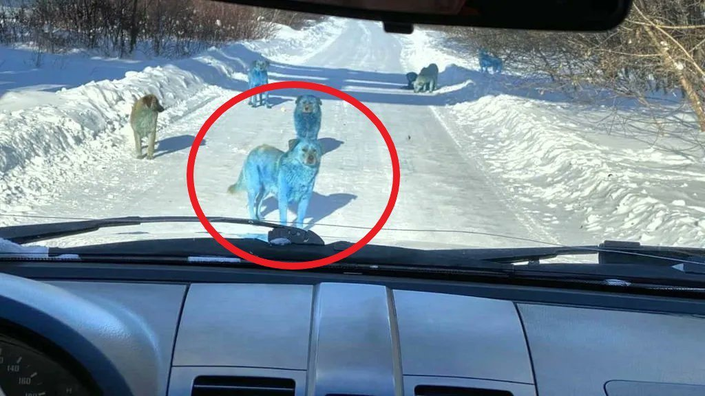 俄街头惊现成群蓝色的狗!雪地中央挡车辆十分渗人
