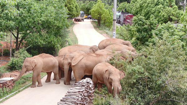 专家定性此次大象北迁:一次罕见的突发事件