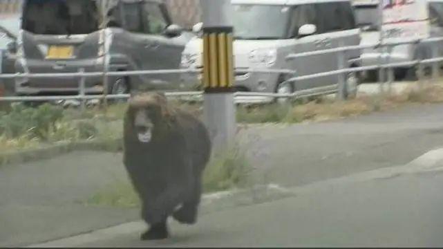 有点蠢萌?一头熊冲进日本自卫队驻地袭击自卫队员……