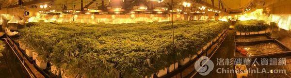 美国华人扎堆种大麻 从业者曝惊人行业内幕