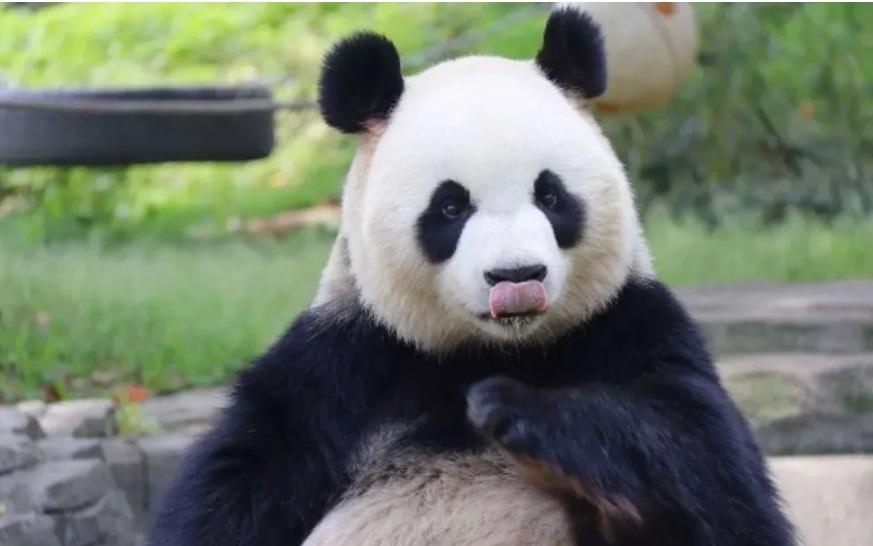 大熊猫为何沉迷马粪不能自拔?中国终于搞清楚