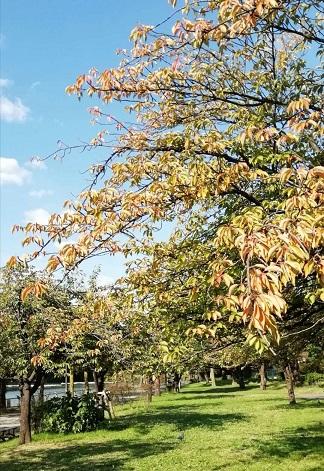 秋天的櫻花樹 - 海獵網-d2天堂抖音
