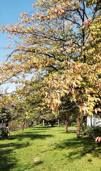 秋天的櫻花樹 - 海獵網-d2天抖音版短视频破解
