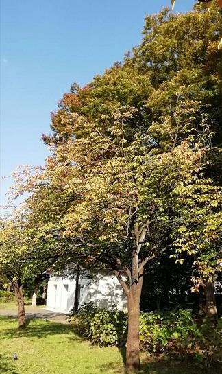 秋天的櫻花樹 - 海獵網-fe富二代f2抖音茄子app